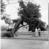 Tree falls on house at 3502 Keystone Avenue, Palms, 1952
