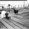 Wild bull on loose captured, 1952