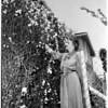 Sweet pea trellis in Altadena, 1952