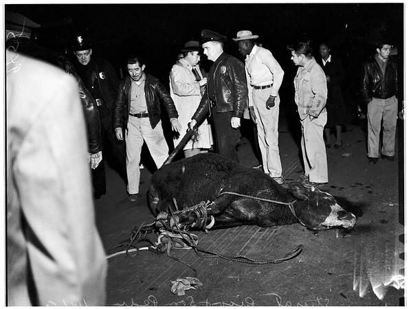 Steer on loose, 1952