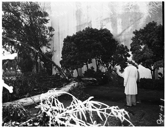 Tree down at Natural History Museum in Exposition Park, 1952