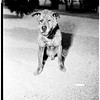 Old dog ... 21 years old, 1952
