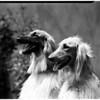Afghan hounds, 1952