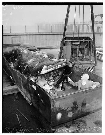 Dead whale at Hermosa Beach Aquarium, 1952