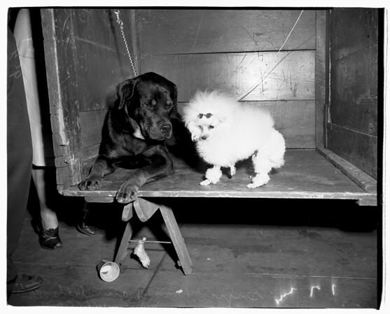 Dog show (Glendale Civic Auditorium), 1952