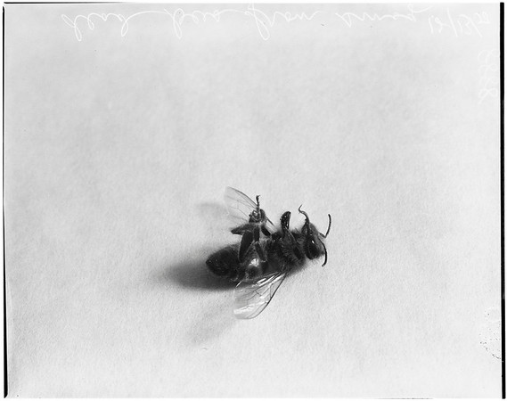 Bees dead from smog, 1950