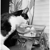 Cats drink from bowls where goldfish swim around unconcerned and in no danger, 1952