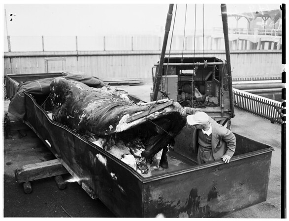 Dead whale at Hermosa Beach Aquarium, 1952