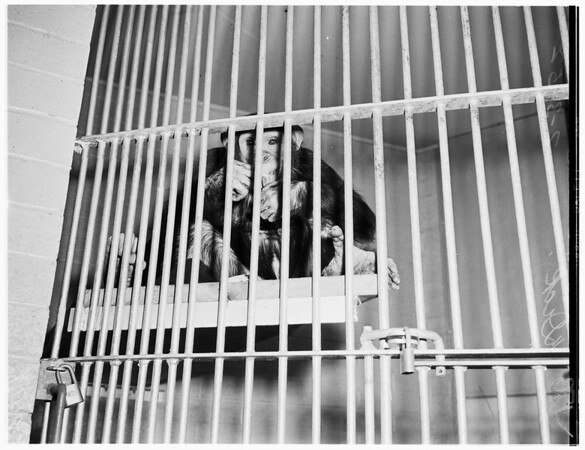 Chimpanzees at Griffith Park Zoo, 1952