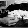 Orphaned rabbits, 1952