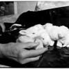 Orphaned rabbits, 1952