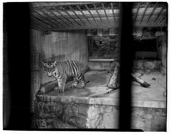 New Bengal tiger.. Griffith Park Zoo, 1952