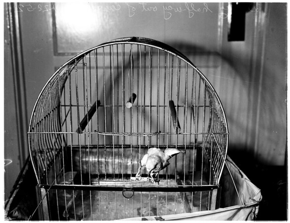 "Jail break series by parakeet ""Dinky"" (owned by Phillip Geraci of El Cajon, California), 1952"