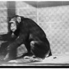 Chimpanzees at Griffith Park Zoo, 1952