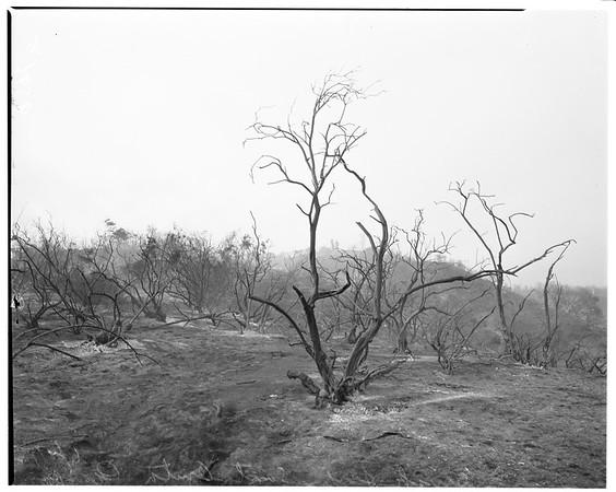 Brush fire at little Santa Anita Canyon, 1952