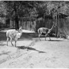New animals at Griffith Park Zoo, 1958