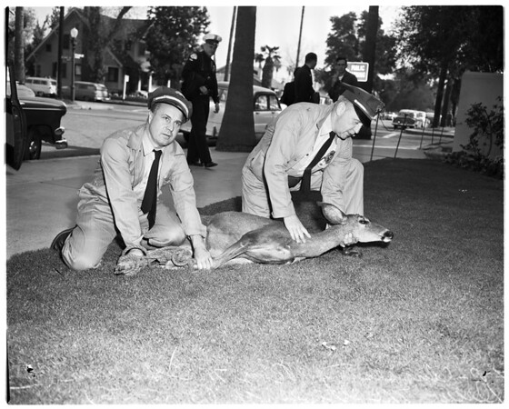 Deer captured in Sherman Oaks, 1956