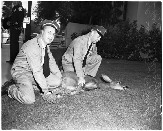 Deer captured in Sherman Oaks, 1956