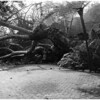 "Ancient ""Hangman's Tree"" falls to clear driveway, 1958"