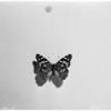 Butterflies, 1958