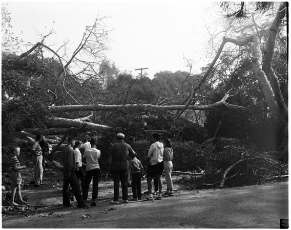"""Ancient """"Hangman's Tree"""" falls to clear driveway, 1958"""