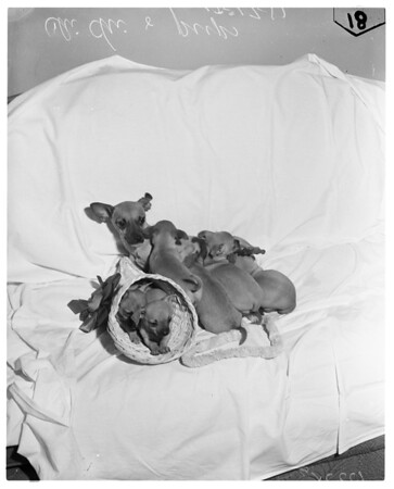 Chihuahua puppies, 1957