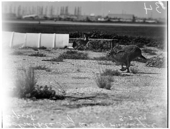 Jackrabbits at Long Beach Municipal Airport, 1958