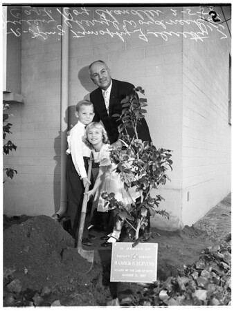 Camellia planting (Temple City), 1958