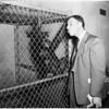 Chimp raises hell, 1952