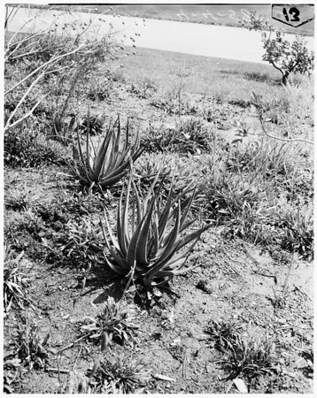 Easter plant feature, 1958