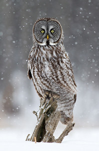 Great Gray Owl Ottawa, Ontario