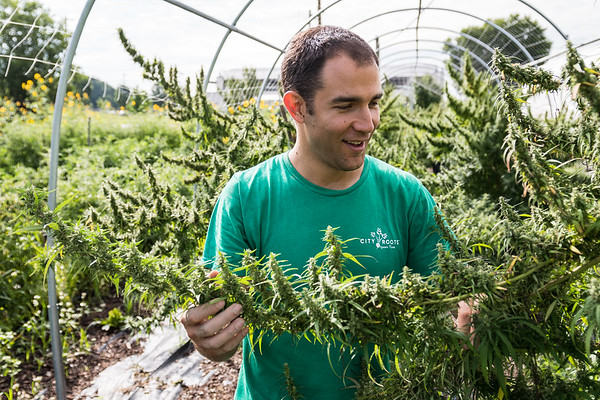 Eric McClam inspects hemp, at City Roots on June 11, 2019. John A. Carlos II / Special to The Post and Courier
