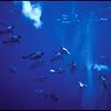 Emperor penguins underwater, Antarctica, 1984