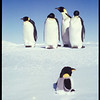 Four emperor penguins and a toy penguin on the ice, McMurdo Ice Edge, Antarctica, 1989
