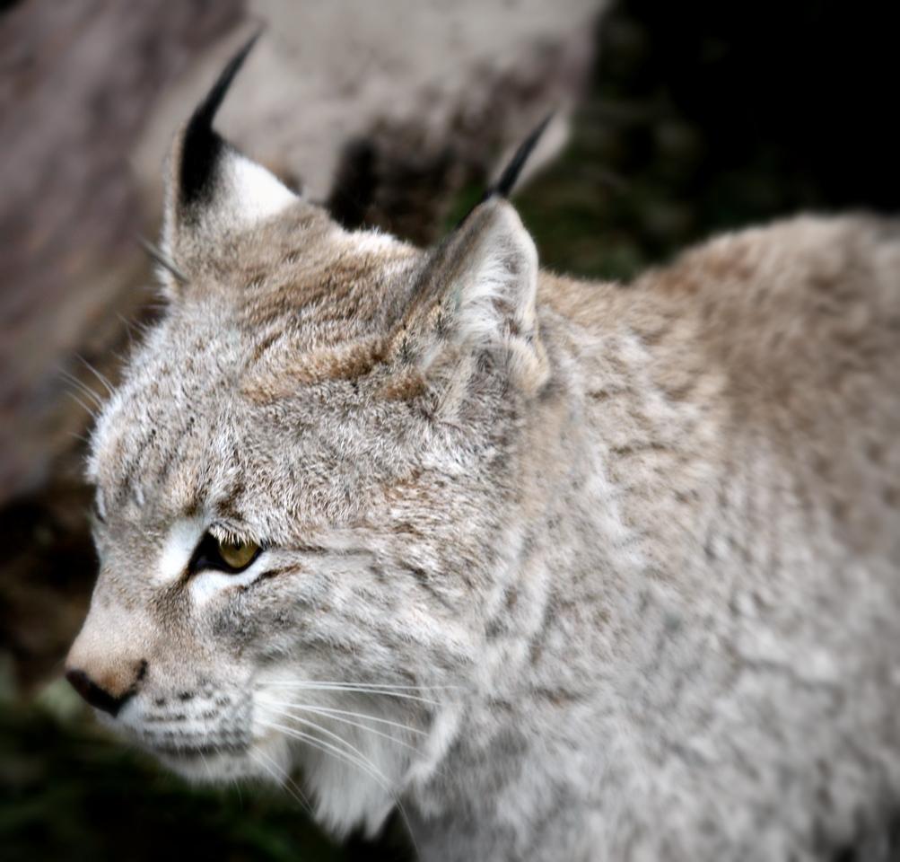 Siberian Lynx