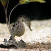 Pot Bellied Seahorse
