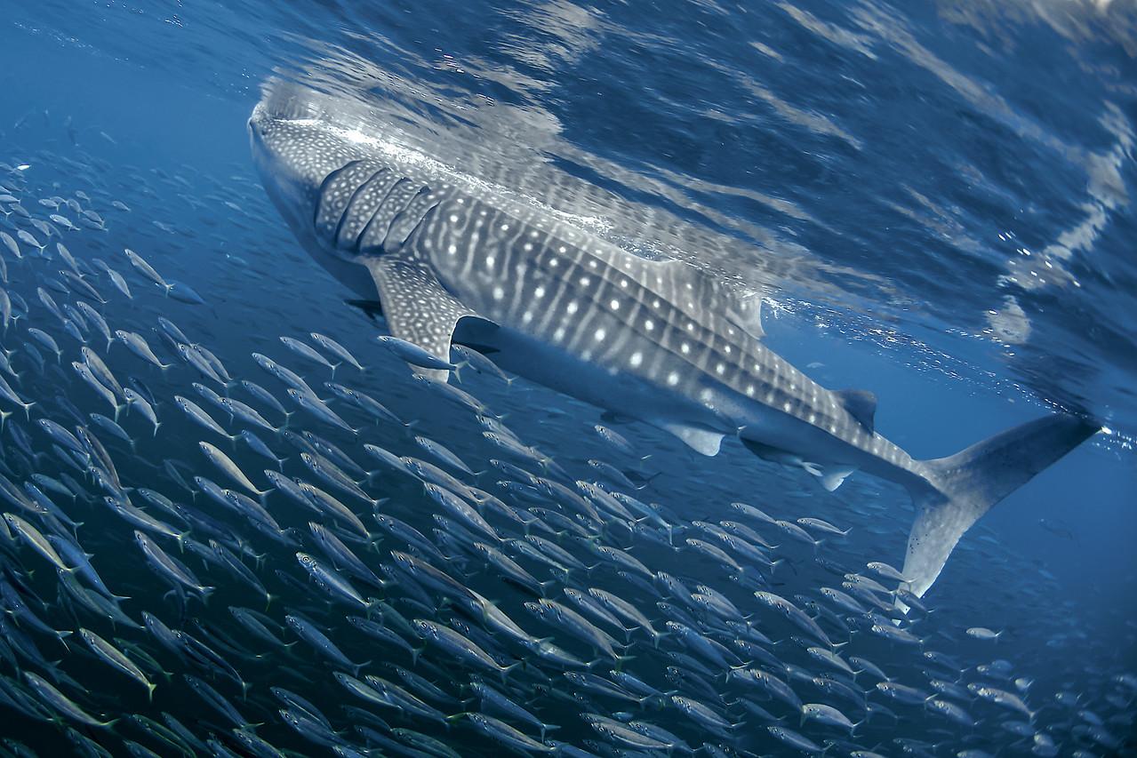 Holbox Whale Shark