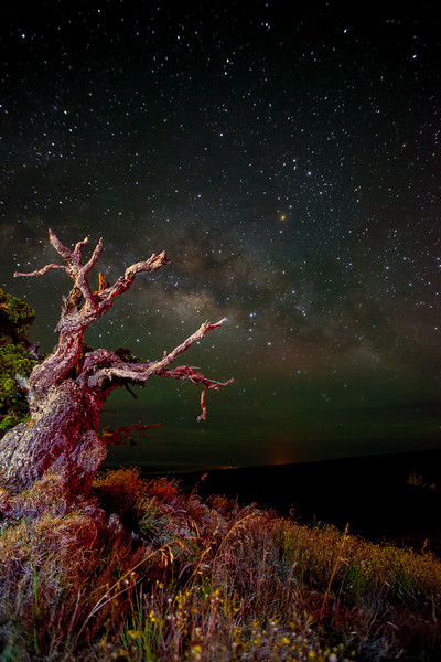 Red tree on Mauna Kea