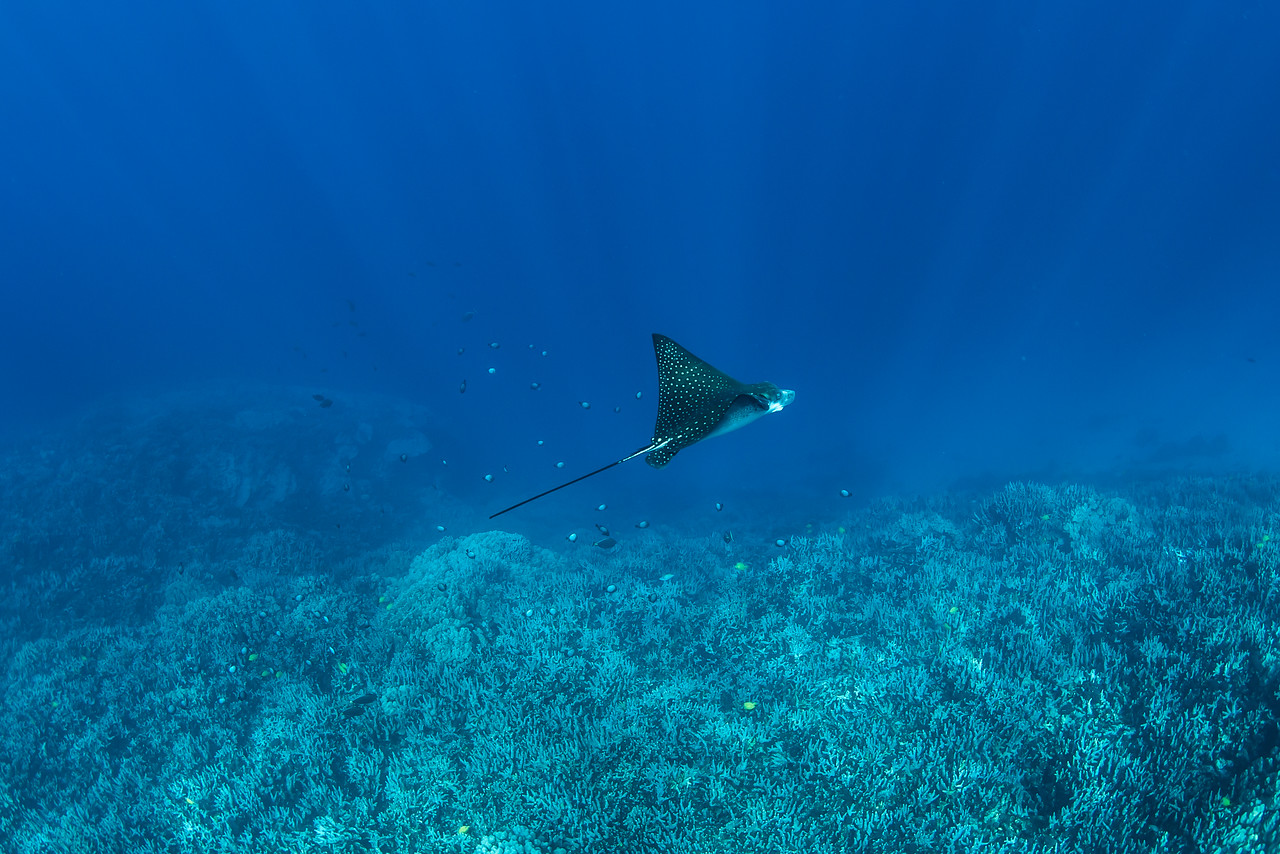Two step Spotted Eagle Ray