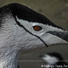 Chinstrap Penguin, Pygoscelis antarctica