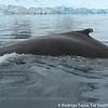 Humpback Whale, Megaptera novaengilae