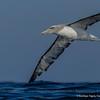 Salvin´s Albatross, Thalassarche salvini