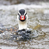 Torrent Duck, Merganetta armata leucogenys