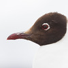 Andean Gull, Chroicocephalus serranus