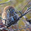 Austral Pygmy Owl, Glaucidium nana