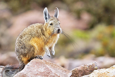 Mountain Viscacha, Lagidium viscacia