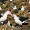 Black-browed Albatrosses displaying at the rookery of West Point Island, Falkland Islands / Islas Malvinas