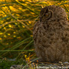 Magellanic Horned Owl, Bubo magellanicus