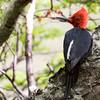 Magellanic Woodpecker, Campephilus magellanicus