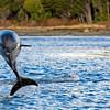 Peales Dolphin (Lagenorhynchus australis)